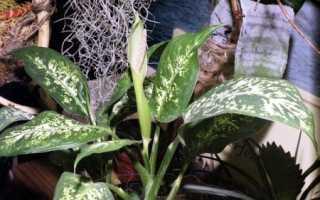 Как выращивать диффенбахию в домашних условиях?