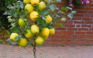 Карликовая яблоня лучшие сорта