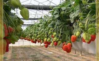 Как выращивать клубнику в теплице круглый год бизнес?