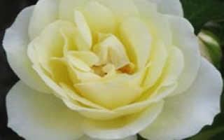 Лучшие сорта белой розы