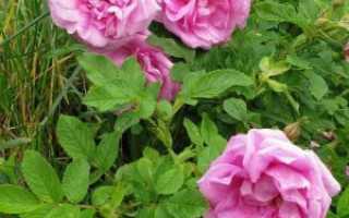 Лучшие сорта розы ругозы