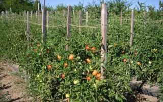 Можно ли выращивать в теплице томаты для открытого грунта?