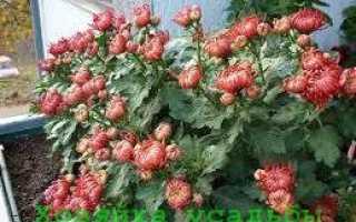 Как выращивать хризантемы в домашних условиях из семян?