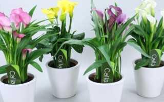 Какие каллы выращивают в домашних условиях?