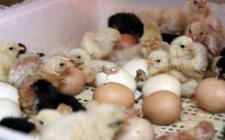 Как выращивать инкубаторских цыплят в домашних условиях?