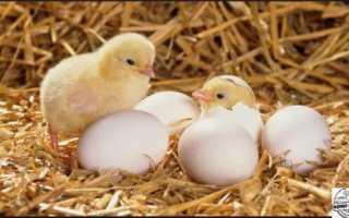 Как правильно выращивать цыплят в домашних условиях?