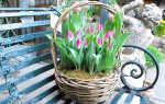 Как выращивать луковицы тюльпанов в домашних условиях?