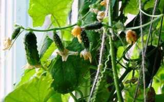 Как выращивать огурцы в домашних условиях на подоконнике?