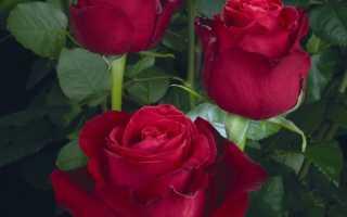 Лучшие сорта срезочных роз