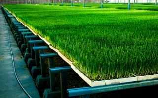 Как выращивать зеленый лук в теплице круглый год?