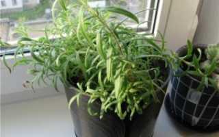 Как выращивать в домашних условиях?