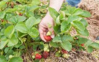 Как выращивать викторию в огороде и посадка и уход?