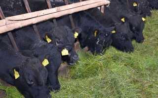 Как выращивать быков в домашних условиях?