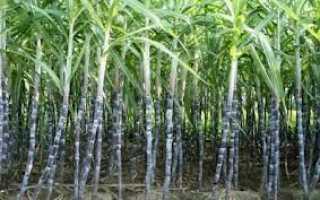 Где выращивают сахарную свеклу и сахарный тростник