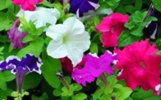 Как правильно выращивать петунию из семян в домашних условиях?