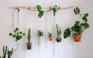 Как выращивать лиану в домашних условиях?