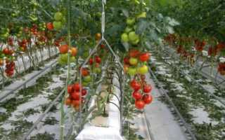 Как выращивают помидоры в теплице в промышленных масштабах?