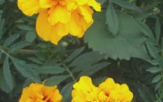 Можно ли выращивать бархатцы как комнатные цветы?