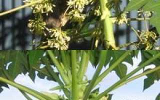 Как выращивать папайю в домашних условиях?