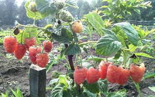 Можно ли выращивать ремонтантную малину в иркутске?
