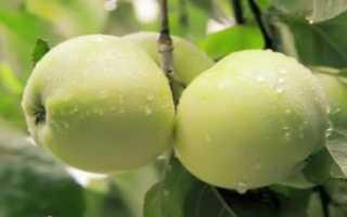 Как выращивать саженцы яблони из срезанной ветки?