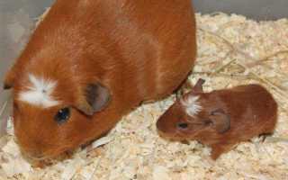 Как выращивать морских свинок в домашних условиях?