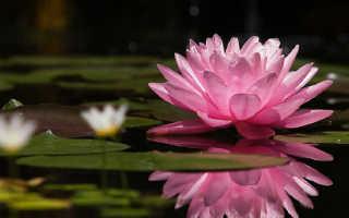 Как выращивать водяную лилию в домашних условиях?