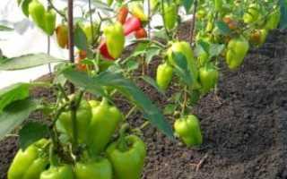 Как выращивать перец в открытом грунте в подмосковье?
