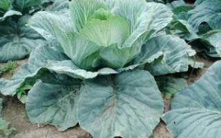 Лучшие сорта средней капусты