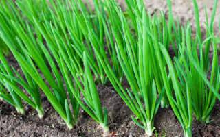 Как выращивают зеленый лук в промышленных масштабах?