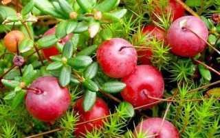 Лучшие сорта крупноплодной клюквы