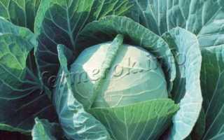 Хорошие сорта капусты