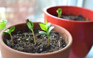 Как выращивать черешню из косточки в домашних условиях?