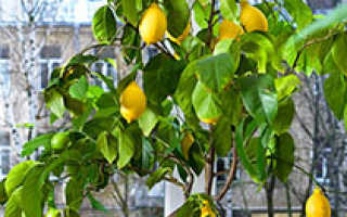 Лимонное дерево из семян как правильно выращивать