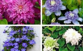Как выращивать клематисы в домашних условиях?