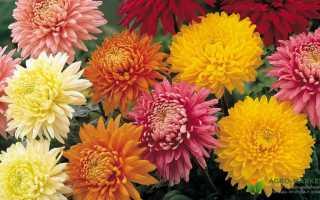 Хризантемы лучшие сорта