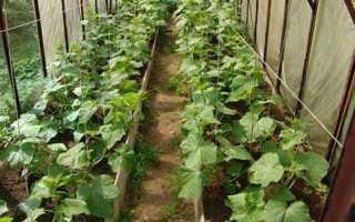 Где лучше выращивать огурцы в теплице или в парнике