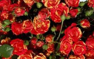 Лучшие сорта спрей роз