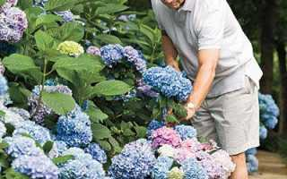 Как выращивать гортензию на даче и как за ней ухаживать?