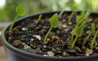 Как выращивать антуриум семенами в домашних условиях?