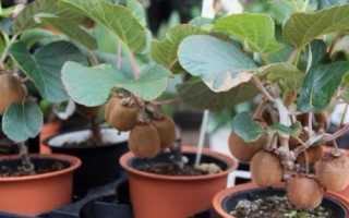 Выращивать киви в домашних условиях