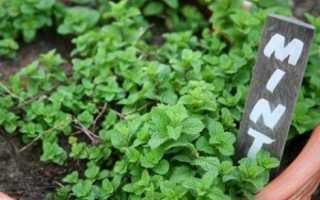 Выращивать мяту в домашних условиях