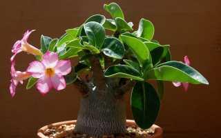Как выращивать адениум в домашних условиях?