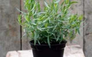 Как выращивать тархун в домашних?