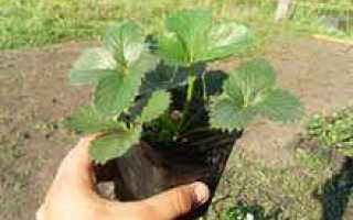 Как выращивать рассаду земляники в домашних условиях?