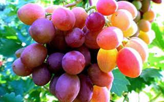 Как правильно выращивать виноград в средней полосе?