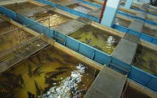 Какие рыбы выращивают искусственно в маленьких прудах?