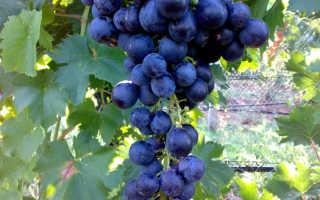 Лучшие сорта винограда волгоград