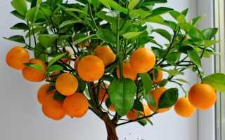 Как выращивать декоративное мандариновое дерево?