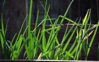 Как выращивать лук на перо в домашних условиях семенами?